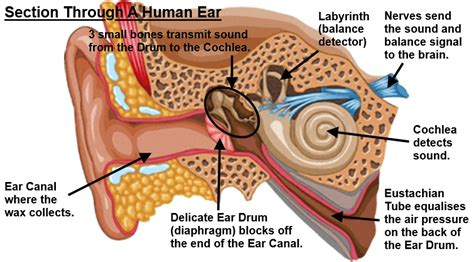 cross section of ear what is earwax all about helpful colin