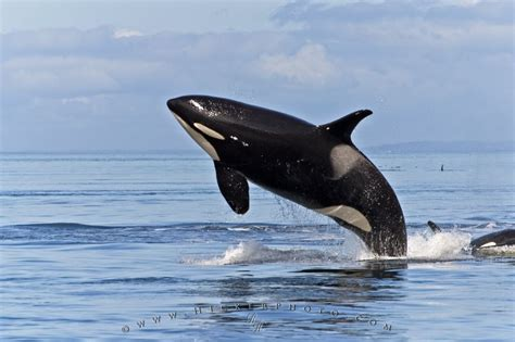 images of whales killer whales pictures photo information