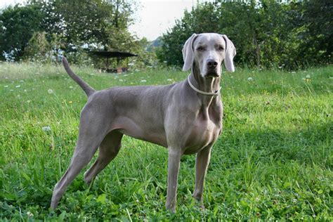 all about dogs weimaraner breed information all about dogs