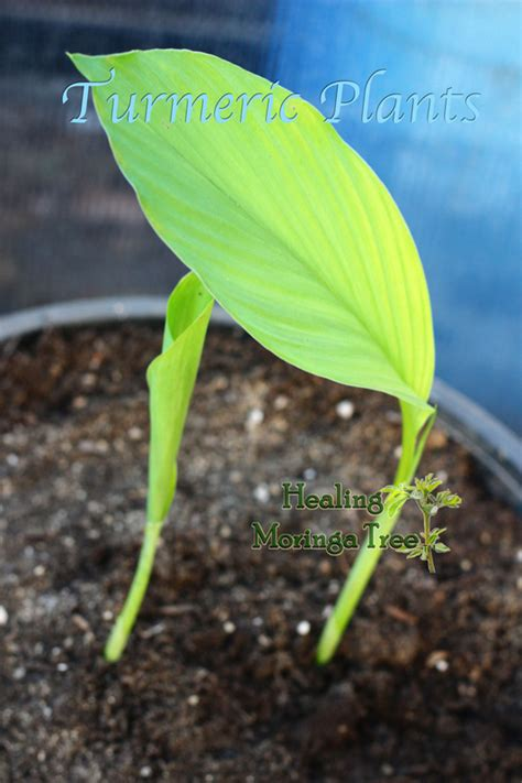 where to buy herb plants buy turmeric plants pre rooted turmeric for sale
