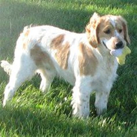 golden retriever cocker spaniel mix for sale 1000 ideas about golden cocker retriever on golden retrievers cocker