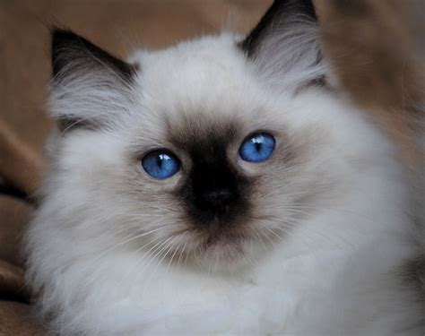 google images kittens ragdoll cats google search cute kitties pinterest