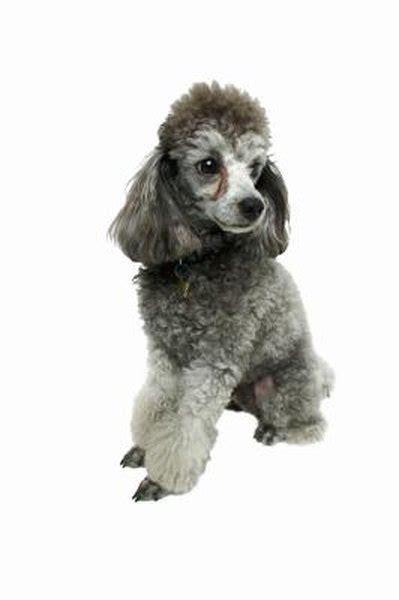 groom  poodles feet pets
