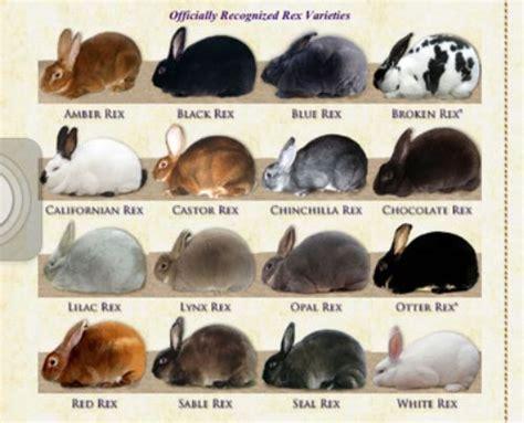netherland rabbit colors 25 best ideas about rex rabbit on pretty