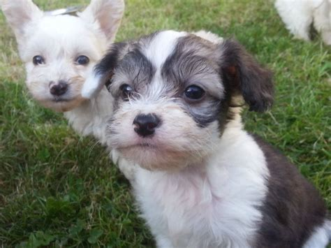 crested powder puff puppies beautiful crested powder puff puppies aylesbury buckinghamshire