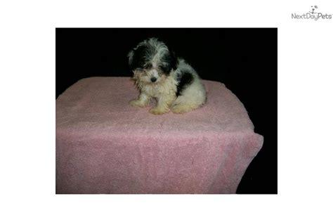 maltipoo puppies for sale in ma meet e cliar a malti poo maltipoo puppy for sale for 450 maltipoo nj ny ct