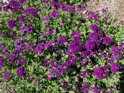 online plant guide verbena lanai deep purple lanai