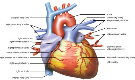 sections of the heart education what is the most suitable function for a heart