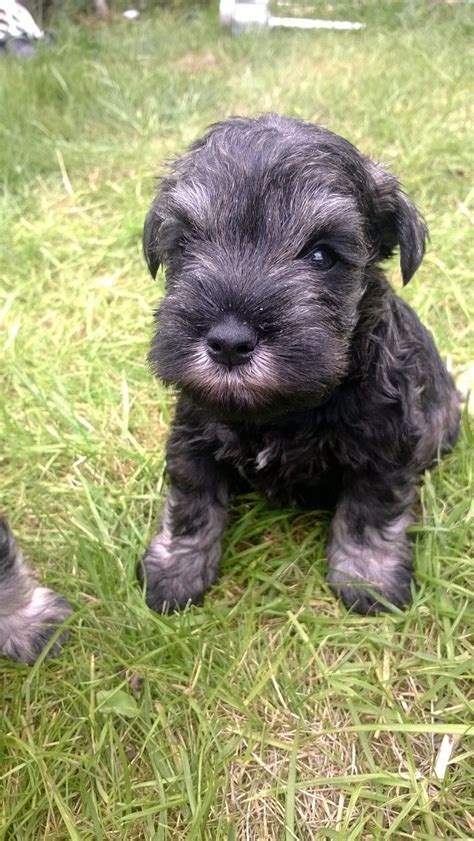 miniature schnauzer puppies for sale kc reg miniature schnauzer puppies for sale wrexham wrexham pets4homes