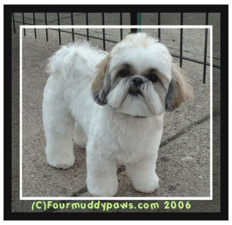 shih tzu haircuts teddy pin shih tzu haircuts teddy on
