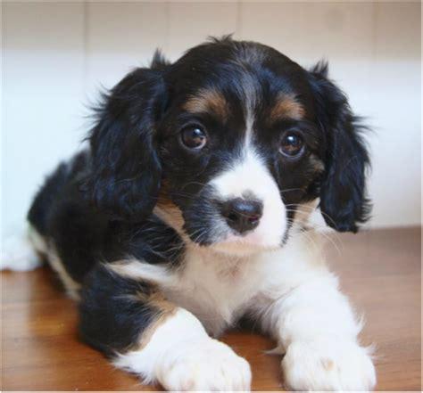 maltese shih tzu cavalier cavalier x maltese shih tzu cottage canines australia