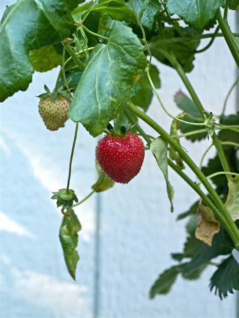 Patio Strawberries by Tower Garden Strawberry Crop Backyard Tower Garden