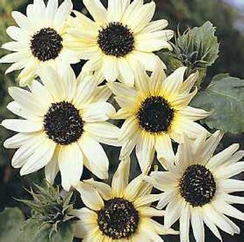 benih sunflower italian white 3 biji non retail
