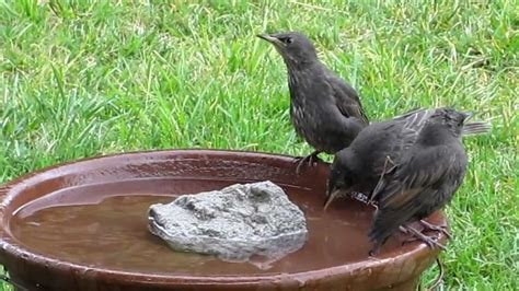 european starling family bathing lesson to babies