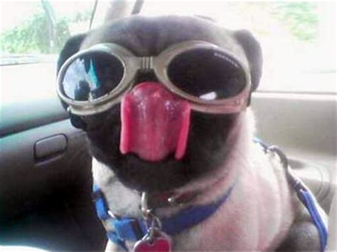 pug goggles dogs and cats are s best friend find out why page 18
