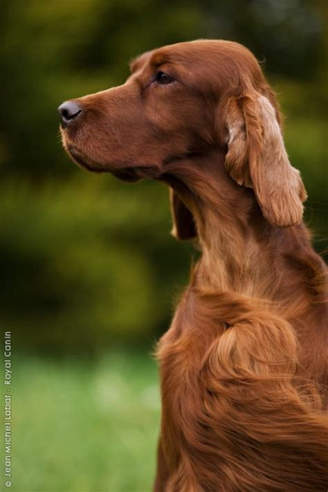 irish setter dog hiking irish setter a breed of gundog and family dog the coat
