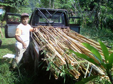 Jual Lu Hias Bambu jual bambu hias bambu taman bambu kuning jasa taman