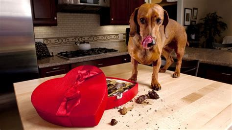 bad foods for dogs what foods are bad for dogs what not to feed dogs in any circumstances