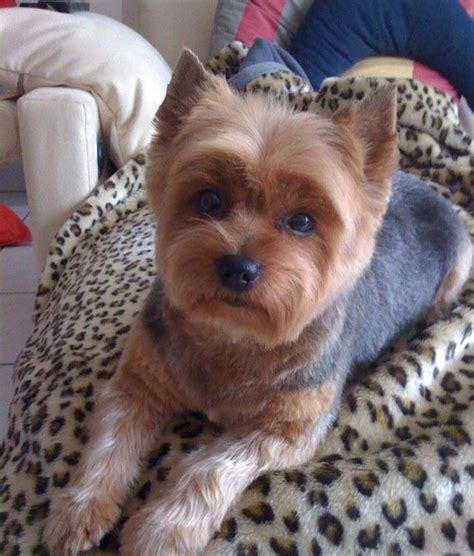 pictures of yorkies with puppy cuts best 25 terrier haircut ideas on yorkie cuts yorkie haircuts