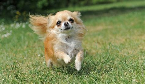 chi shih tzu shih tzu chihuahua mix shichi 1 info on this adorable breed