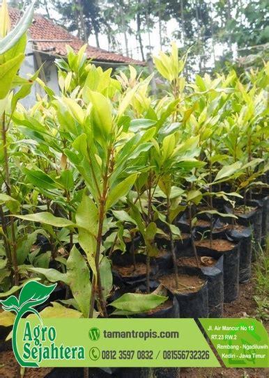 Jual Biji Cengkeh Untuk Bibit jual pohon cengkeh zanzibar 2 meter