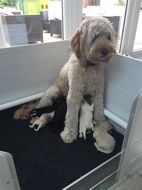Australian Miniature Labradoodle Puppies Camberley