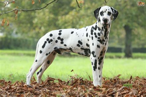 are dalmations dogs dalmatian breed information buying advice photos and facts pets4homes