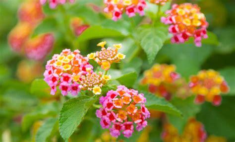 potatura bouganville in vaso lantana come coltivarla in vaso e nel giardino leitv