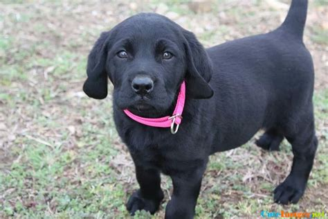 black lab puppy names my new black lab puppy ellie pictures cuteimages net