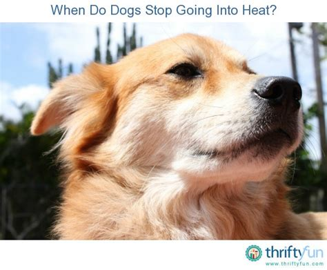 dogs going into heat when do dogs stop going into heat thriftyfun