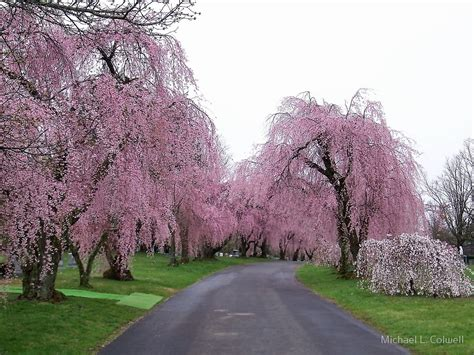 quot weeping cherry trees in bloom quot by michael l colwell redbubble