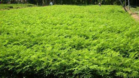 Biji Sengon Jogja cv akg pusat benih dan bibit tanaman