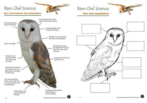 barn owl food web diagram owl colouring pages the barn owl trust