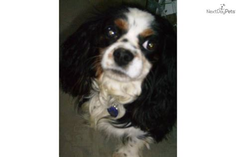 cavalier king charles spaniel puppies for adoption adopt danny a cavalier king charles spaniel puppy for cavalier for adoption
