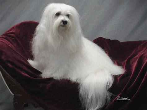 Peluito Havanese - Puppies For Sale