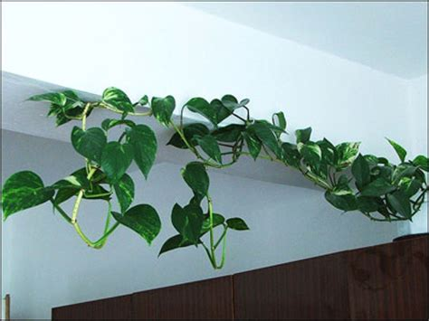 indoor vine plant plant id flowers and foliage pothos florida master