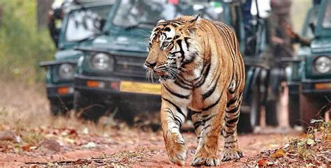 Save Tiger Essay In Telugu by The Tiger Is India S Soul You Can T Lose It The New Indian Express