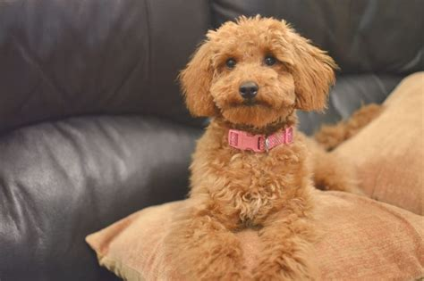 lifespan of miniature poodle apricot miniature poodle puppy cuteness