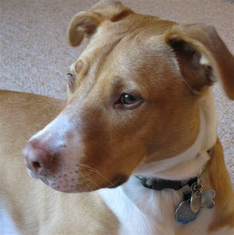 pitbull terrier mix puppies gallery for gt pit bull mix