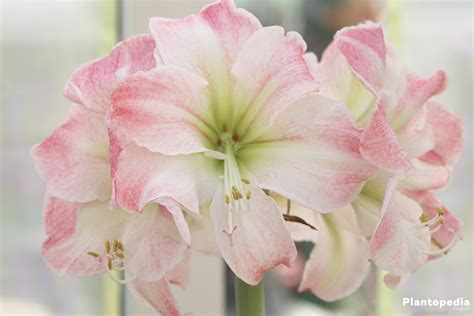 how to care for amaryllis plants watering and post care