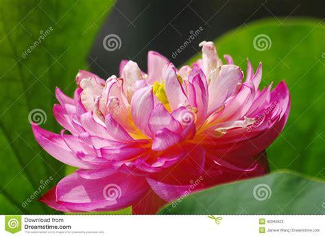 fiore di loto rosso un cluse su fiore di loto rosso fotografia stock