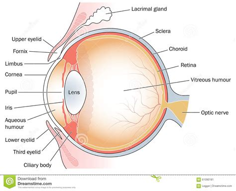 eye section cross section through the eye stock illustration image