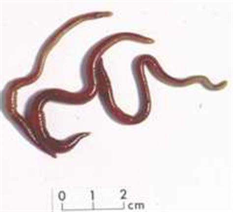 Obat Cacing Kalung cacing kalung obat tifus pelita