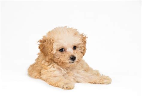 poodles puppies poodle puppies for sale akc puppyfinder