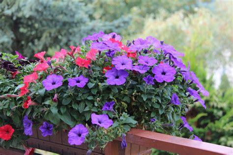 quali sono i fiori di primavera quali sono i fiori resistono al sole foto pollicegreen