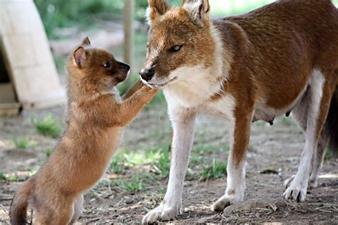 dhole puppy tag archives dholes