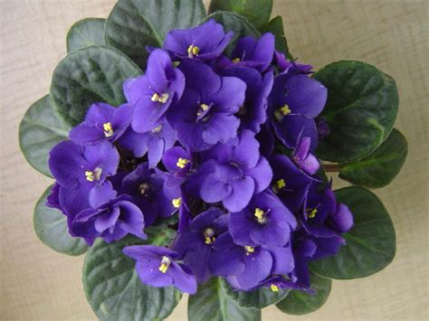 african violet saintpaulia ionantha african violet world of flowering