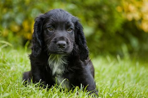 cocker spaniel breeders black cocker spaniel puppy oswestry shropshire pets4homes