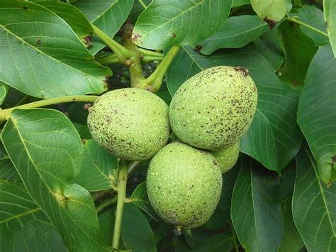 preguntas tipicas java nuez 193 rbol frutas juglans 183 foto gratis en pixabay