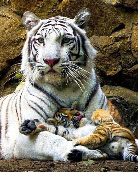 tiger  cubs   paws luvbat